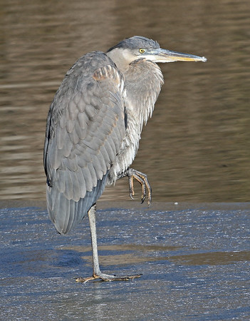 A Great Blue Heron walking on thin ice at Shadyside Park on Saturday February 6.<br /> <br /> Photographer's Name: Pete Domery<br /> Photographer's City and State: Markleville, Ind.