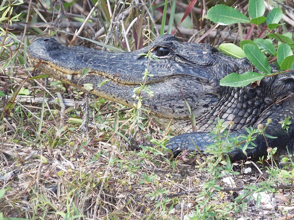 Found on a back road near Everglades National Park recently.<br /> <br /> Photographer's Name: Susan  Pease<br /> Photographer's City and State: Anderson, Ind.