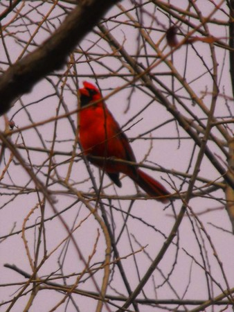 A redbiird outside the barn window in Alexandria.<br /> <br /> Photographer's Name: J.R. Rosencrans<br /> Photographer's City and State: Alexandria, Ind.