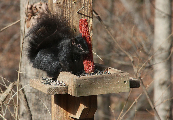This black squirrel at Mounds Park is finding that the corn is gone.<br /> <br /> Photographer's Name: Jerry Byard<br /> Photographer's City and State: Anderson, Ind.