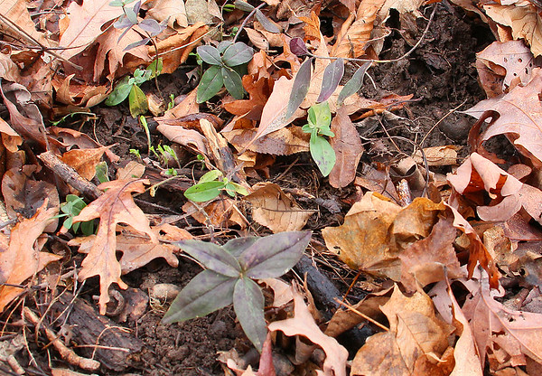 In the dead of winter there are green sprouts showing in the woods at Mounds Park.<br /> <br /> Photographer's Name: Jerry Byard<br /> Photographer's City and State: Anderson, Ind.