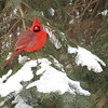 A cardinal on a branch, after our small snowfall.<br /> <br /> Photographer's Name: Harry Van Noy<br /> Photographer's City and State: Lafayette Township, Ind.