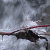 An iced branch over a flowing stream.<br /> <br /> Photographer's Name: Harry Van Noy<br /> Photographer's City and State: Lafayette Township, Ind.