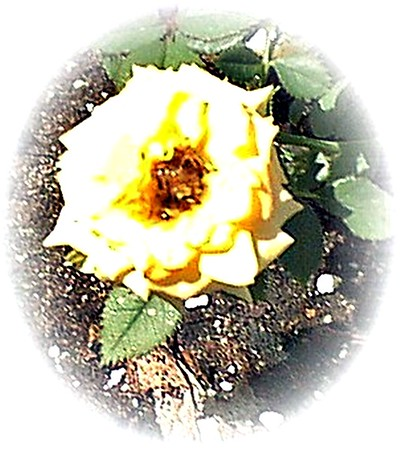 Mini yellow rose.<br /> <br /> Photographer's Name: Stephen Cox<br /> Photographer's City and State: Gulf Shores, Ala.