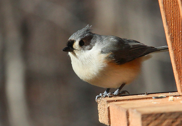 This tufted titmouse is basking in the sun at Mounds Park.<br /> <br /> Photographer's Name: Jerry Byard<br /> Photographer's City and State: Anderson, Ind.