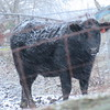 A cold cow in a field in Madison County.<br /> <br /> Photographer's Name: Harry Van Noy<br /> Photographer's City and State: Lafayette Township, Ind.
