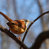 A pretty Carolina wren at Mounds Park.<br /> <br /> Photographer's Name: Jerry Byard<br /> Photographer's City and State: Anderson, Ind.