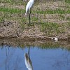 An egret at Shadyside Park,<br /> <br /> Photographer's Name: Stephen Guy<br /> Photographer's City and State: Daleville, Ind.