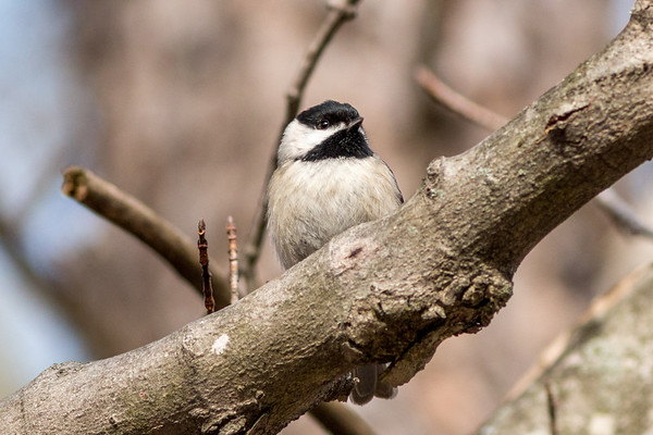 A black-capped Chickadee at Eagle Creek.<br /> <br /> Photographer's Name: Ruby Northcutt<br /> Photographer's City and State: Anderson, Ind.