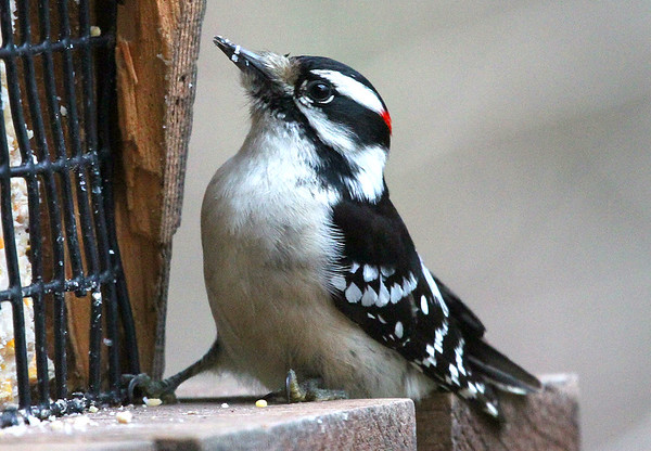 A male downy woodpecker feeding at Mounds Park.<br /> <br /> Photographer's Name: Jerry Byard<br /> Photographer's City and State: Anderson, Ind.