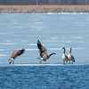 Canada geese taking off from the edge of the ice on the water at Summit Lake.<br /> <br /> Photographer's Name: Ruby Northcutt<br /> Photographer's City and State: Anderson, Ind.