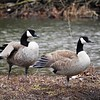 """I've got your back:"" Geese at Mounds State Park.<br /> <br /> Photographer's Name: J.R. Rosencrans<br /> Photographer's City and State: Alexandria, Ind."