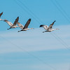 Sandhill cranes flying at Muscatatuck National Wildlife Refuge on Sunday.<br /> <br /> Photographer's Name: Ruby  Northcutt<br /> Photographer's City and State: Anderson, Ind.