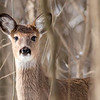 A young deer at Mounds was intrigued by me.<br /> <br /> Photographer's Name: Ruby Northcutt<br /> Photographer's City and State: Anderson, Ind.