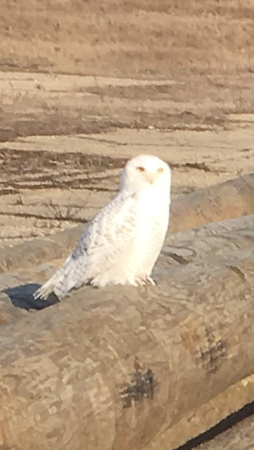 White owl today behind Scatteefield Flagship.<br /> <br /> Photographer's Name: Gary Cochran <br /> Photographer's City and State: Anderson, Ind.