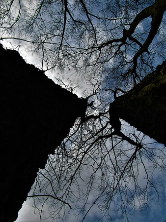 A skyward view, between tree trunks.<br /> <br /> Photographer's Name: Harry Van Noy<br /> Photographer's City and State: Lafayette Township, Ind.