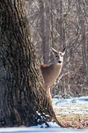 This deer wanted to pose for the camera at Mounds.<br /> <br /> Photographer's Name: Ruby  Northcutt<br /> Photographer's City and State: Anderson, Ind.