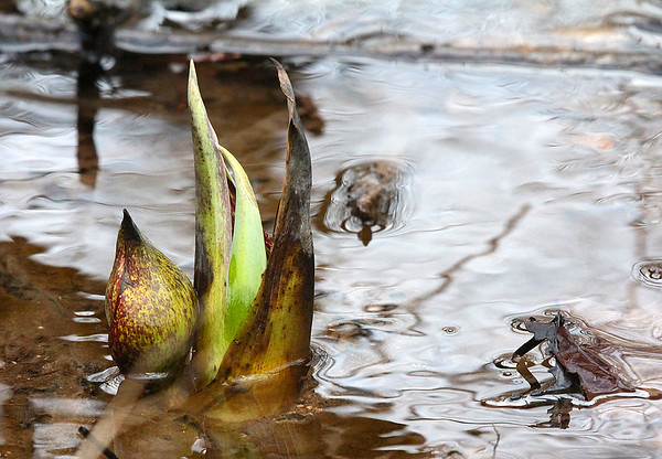 Skunk cabbage at Mounds Park growing in the water.<br /> <br /> Photographer's Name: Jerry Byard<br /> Photographer's City and State: Anderson, Ind.