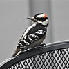Downy woodpecker on the patio.<br /> <br /> Photographer's Name: Sharon Markle<br /> Photographer's City and State: Markleville, Ind.