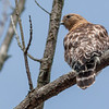 A red-shouldered hawk at Eagle Creek.<br /> <br /> Photographer's Name: Ruby Northcutt<br /> Photographer's City and State: Anderson, Ind.
