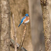 An eastern bluebird enjoying the sun at Eagle Creek.<br /> <br /> Photographer's Name: Ruby  Northcutt<br /> Photographer's City and State: Anderson, Ind.