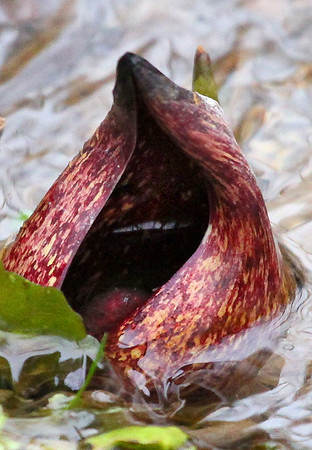 Early in the season skunk cabbage is showing up at Mounds Park.<br /> <br /> Photographer's Name: Jerry Byard<br /> Photographer's City and State: Anderson, Ind.