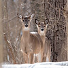 Deer at Mounds.<br /> <br /> Photographer's Name: Ruby Northcutt<br /> Photographer's City and State: Anderson, Ind.