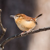 A winter wren enjoying the sunshine at Mounds.<br /> <br /> Photographer's Name: Ruby Northcutt<br /> Photographer's City and State: Anderson, Ind.