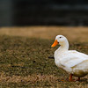Pretty white duck enjoying the break in temperatures at Falls Park.<br /> <br /> Photographer's Name: Ruby Northcutt<br /> Photographer's City and State: Anderson, Ind.