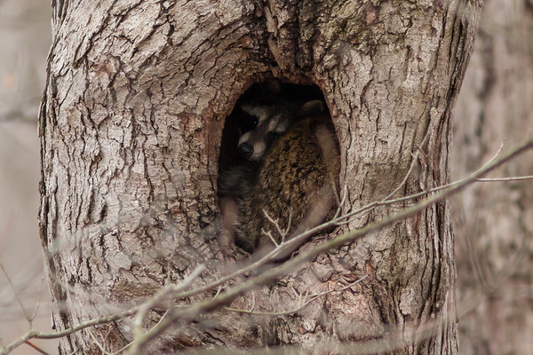 A raccoon snuggled in a tree at Mounds.<br /> <br /> Photographer's Name: Ruby Northcutt<br /> Photographer's City and State: Anderson, Ind.