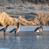 Canada geese were carefully walking across the ice at Killbuck Wetlands this week.<br /> <br /> Photographer's Name: Ruby Northcutt<br /> Photographer's City and State: Anderson, Ind.