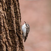 Brown Creeper at Mounds.<br /> <br /> Photographer's Name: Ruby Northcutt<br /> Photographer's City and State: Anderson, Ind.