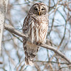 A barred owl at Mounds.<br /> <br /> Photographer's Name: Ruby Northcutt<br /> Photographer's City and State: Anderson, Ind.