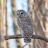 A barred owl spotting me at Muscatatuck National Wildlife Refuge on Sunday.<br /> <br /> Photographer's Name: Ruby  Northcutt<br /> Photographer's City and State: Anderson, Ind.