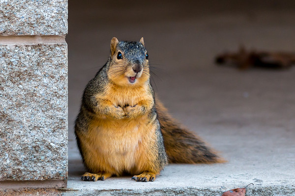 Fat squirrel posing for the camera at Mounds.<br /> <br /> Photographer's Name: Ruby Northcutt<br /> Photographer's City and State: Anderson, Ind.