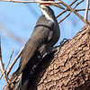 A pileated woodpecker at Mounds.<br /> <br /> Photographer's Name: Ruby Northcutt<br /> Photographer's City and State: Anderson, Ind.