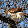 I captured this beautiful hawk at Mounds State Park while hiking on a beautiful Friday morning.<br /> <br /> Photographer's Name: Jerry Byard<br /> Photographer's City and State: Anderson, Ind.