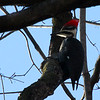 This pileated woodpecker at Mounds State Park was high in a tree searching for food.<br /> <br /> Photographer's Name: Jerry Byard<br /> Photographer's City and State: Anderson, Ind.
