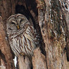 While hiking at Mounds Park I was happy to see this barred owl sitting in an old dead tree.<br /> <br /> Photographer's Name: Jerry Byard<br /> Photographer's City and State: Anderson, Ind.