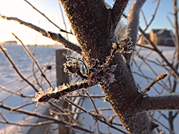 Apple tree frost in Richland Township.<br /> <br /> Photographer's Name: J.R. Rosencrans<br /> Photographer's City and State: Alexandria, Ind.