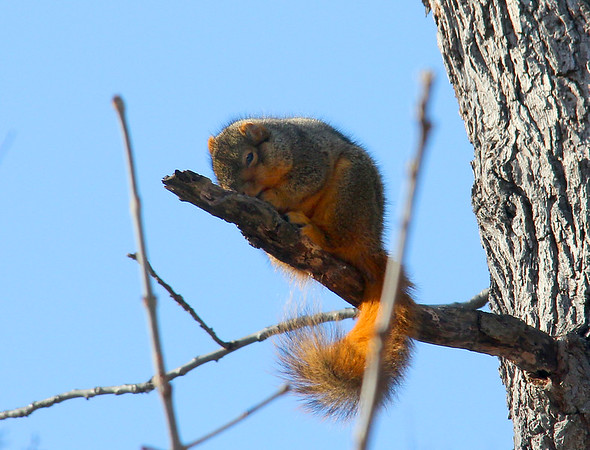 The squirrel at Mounds State Park seems to be taking a little nap in the morning sunshine.<br /> <br /> Photographer's Name: Jerry Byard<br /> Photographer's City and State: Anderson, Ind.