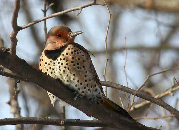 This Northern Flicker was frequenting the feeder at Mounds State Park.<br /> <br /> Photographer's Name: Jerry Byard<br /> Photographer's City and State: Anderson, Ind.