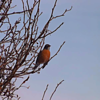Early spring: Robin in my tree.<br /> <br /> Photographer's Name: J.R. Rosencrans<br /> Photographer's City and State: Alexandria, Ind.