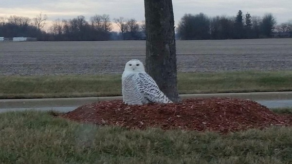 A snow owl at Hoosier Park, Anderson.<br /> <br /> Photographer's Name: John Connell<br /> Photographer's City and State: Anderson, Ind.
