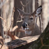 A deer enjoying a restful moment laying by a log at Mounds State Park.<br /> <br /> Photographer's Name: Jerry Byard<br /> Photographer's City and State: Anderson, Ind.