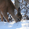With chill factors below zero this deer at Mounds State  Park was browsing for something to eat on Wednesday morning.<br /> <br /> Photographer's Name: Jerry Byard<br /> Photographer's City and State: Anderson, Ind.