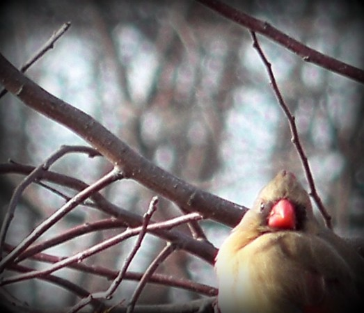Female cardinal in a weeping crab tree.<br /> <br /> Photographer's Name: Debra Howell<br /> Photographer's City and State: Pendleton, Ind.