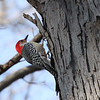 On a rare sunny day I caught this red-bellied woodpecker looking for food at Mounds State Park.<br /> <br /> Photographer's Name: Jerry Byard<br /> Photographer's City and State: Anderson, Ind.