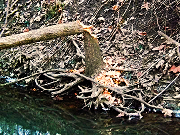 Beavers working  in Killbuck Creek.<br /> <br /> Photographer's Name: J.R.  Rosencrans<br /> Photographer's City and State: Aleandria, Ind.