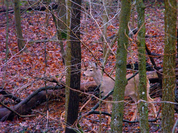 Deer in my woods in Richland Township.<br /> <br /> Photographer's Name: J.R.  Rosencrans<br /> Photographer's City and State: Alexandria, Ind.